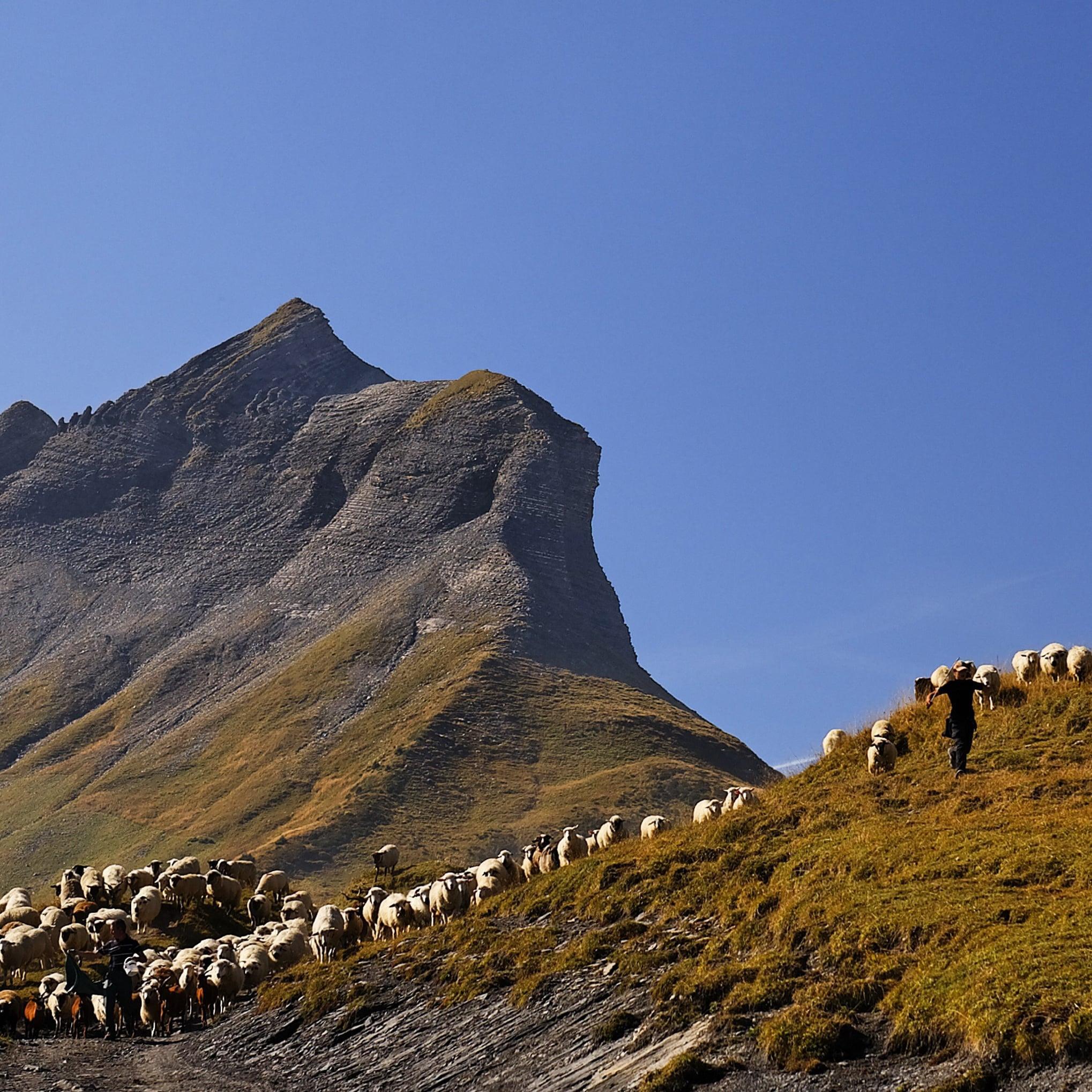 Image de couverture - Carte de localisation des troupeaux gardés  : Mise à jour du 6 août