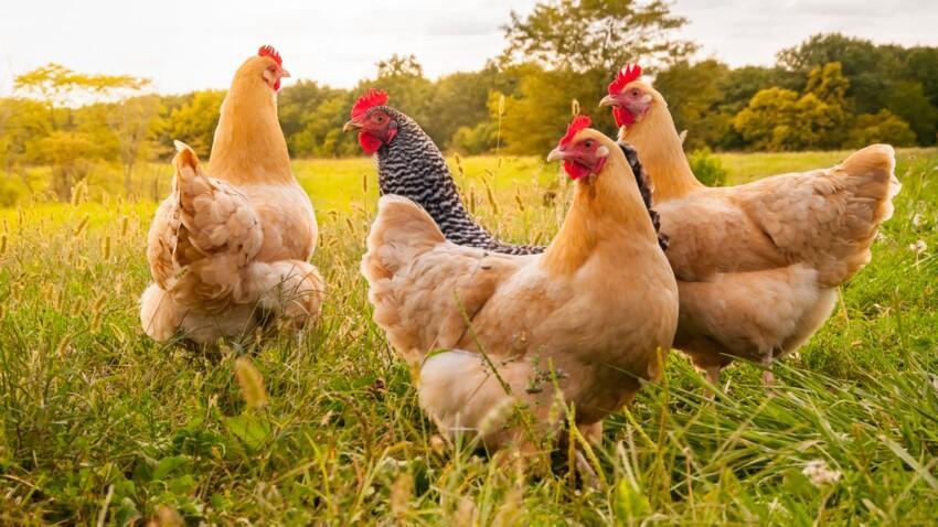 Image de couverture - Le point sur l'épizootie d'influenza aviaire
